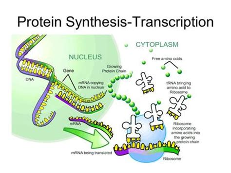 Higher Human Biology Protein Synthesis Essay